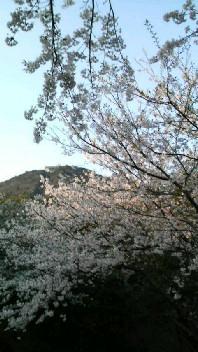 火の山 桜